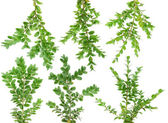 Herdem yeşil dallar şimşir seti — Stok fotoğraf