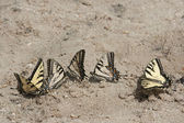 Swallowtail batterflies — Stock Photo