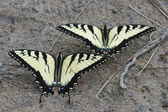 Swallowtail batterfly — Stock Photo