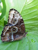 Morpho peleides (lower side of wings) — Stock Photo