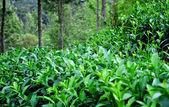 Ceylon tea — Stock Photo