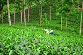 Tea plantation and woman — Stock Photo