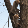 Stock Photo: Two monkeys on tree - Thailand