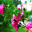 Rosebush — Stock Photo #2820231