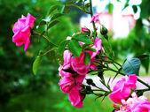 Rosebush — Stock Photo