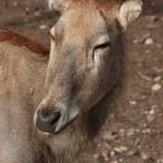David deer — Stock Photo