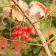 Viburnum red — Photo