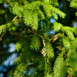 Spruce needles — Stock Photo