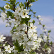 Apple trees in bloom. — Stock Photo