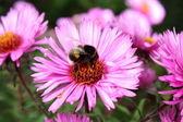 Worker bumblebee. — Stock Photo