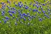 Flowers muscari. — Stock Photo