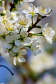 Wild plum blossom. — Stock Photo
