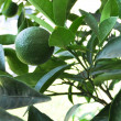 Royalty-Free Stock Photo: Lime Growing on Tree