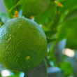 Lime Growing on Tree — Stock Photo