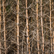Pine trunks background — Stock Photo