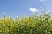 Lucerne field on blue sky — Stock Photo