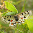 Nomion butterfly — Stock Photo