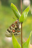 Nomion butterfly — Stockfoto
