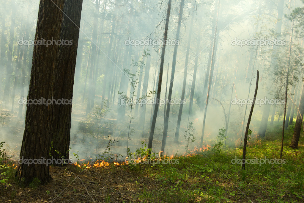 Fire in the pine tree forest — Stock Photo #2781300