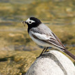 Wagtail with mosquito in beak — Stock Photo #2814886