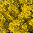 Stock Photo: yellow camomile backgound