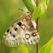 Stock Photo: Nomion butterfly