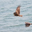 Eagles over water — Stock Photo