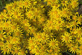 Yellow camomile backgound — Stock Photo