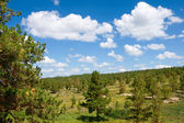 Pine tree forest landscape — Stock Photo