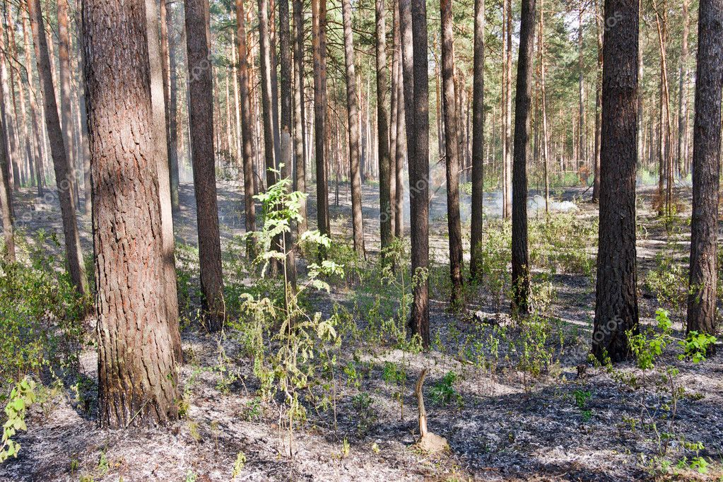 Fire in the pine tree forest  Stock Photo #2814806
