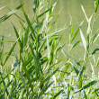Stock Photo: Reed stems