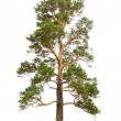 Pine tree — Stock Photo #2852626