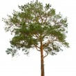 Pine tree — Stock Photo #2852628