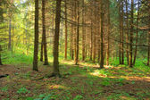 Sunlight rays in the forest — Stock Photo