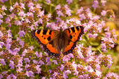 Aglais urticae butterfly — Stock Photo