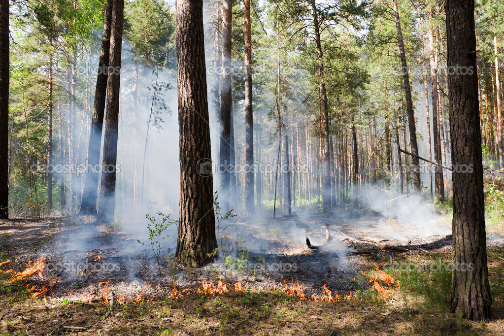 Fire in the pine tree forest — Stock Photo #3184948