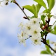 Blossoming cherry-trees - Stock Photo