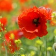 Poppy — Stock Photo #3137901