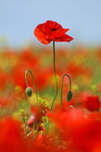 Overgrown poppy flower — Stock Photo