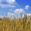 Yellow wheat ears against blue sky with clouds — Stock Photo #3625621