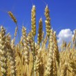 Yellow wheat ears against blue sky with clouds — Stock Photo