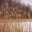 Reed in winter — Stock Photo