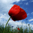 Flower, poppy — Stock Photo
