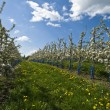 Flowered apple trees — Stock Photo