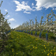 Stock Photo: Flowered apple trees