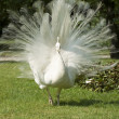 Stock Photo: Isolbella, white peacock