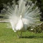 Isola bella, white peacock — Stock Photo