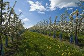 Flowered apple trees — Stock Photo