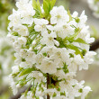 Beautiful white spring flower — Stock Photo #2820378