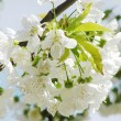 Beautiful white spring flower — Stock Photo #2820504